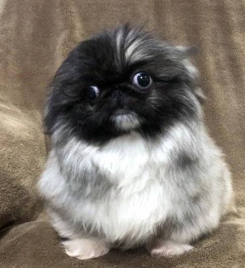 ペキニーズの子犬(ID:1236211380)の1枚目の写真/更新日:2019-04-02