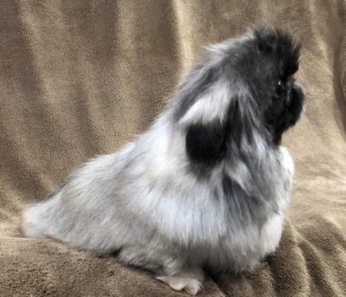 ペキニーズの子犬(ID:1236211380)の2枚目の写真/更新日:2019-04-02
