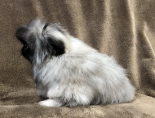 ペキニーズの子犬(ID:1236211380)の3枚目の写真/更新日:2019-04-02