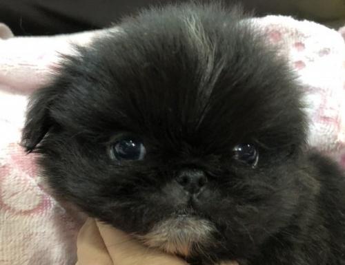 ペキニーズの子犬(ID:1236211381)の1枚目の写真/更新日:2019-04-02