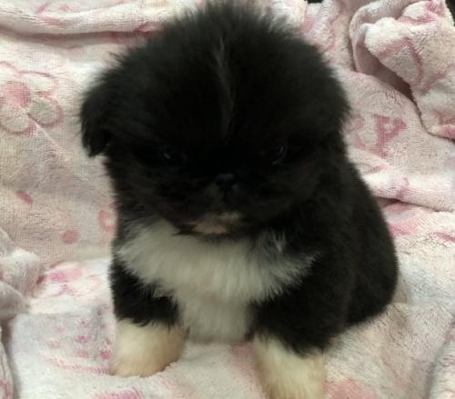 ペキニーズの子犬(ID:1236211381)の3枚目の写真/更新日:2017-02-10