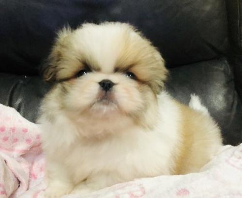 ペキニーズの子犬(ID:1236211382)の1枚目の写真/更新日:2019-04-22
