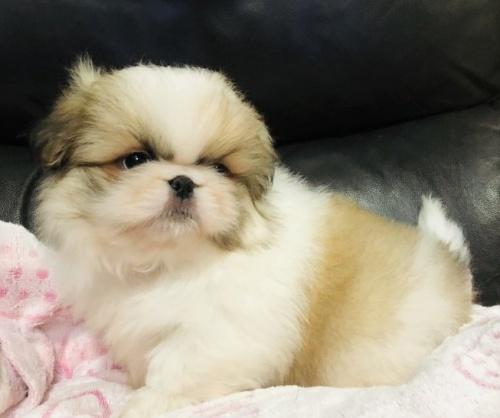 ペキニーズの子犬(ID:1236211382)の2枚目の写真/更新日:2019-04-22