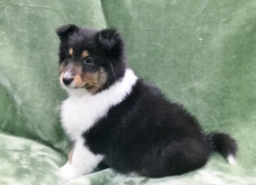 シェットランドシープドッグの子犬(ID:1236211386)の2枚目の写真/更新日:2017-01-31