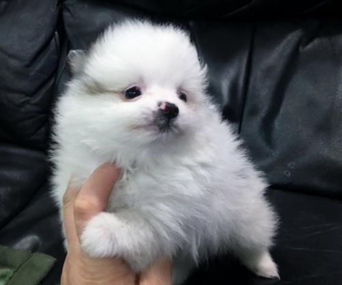 ポメラニアンの子犬(ID:1236211389)の2枚目の写真/更新日:2017-01-16