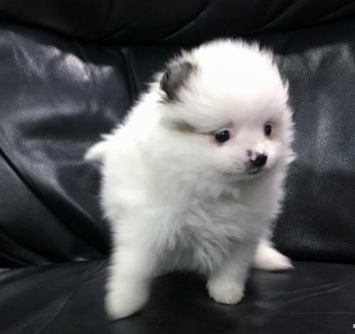 ポメラニアンの子犬(ID:1236211389)の3枚目の写真/更新日:2017-01-16