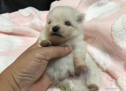 ポメラニアンの子犬(ID:1236211391)の2枚目の写真/更新日:2020-09-28