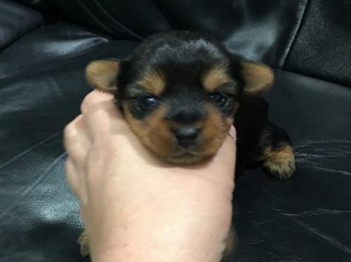 ヨークシャーテリアの子犬(ID:1236211393)の1枚目の写真/更新日:2016-12-20