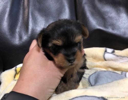 ヨークシャーテリアの子犬(ID:1236211394)の2枚目の写真/更新日:2020-10-23