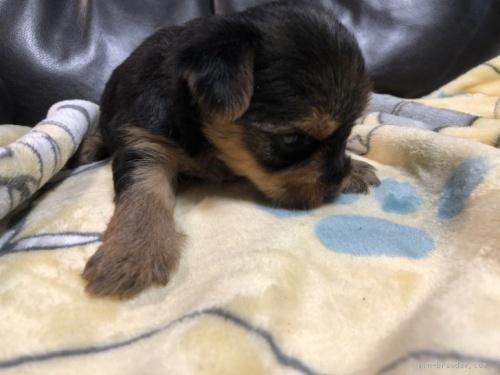 ヨークシャーテリアの子犬(ID:1236211394)の3枚目の写真/更新日:2020-10-23