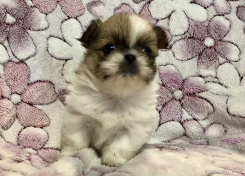 ペキニーズの子犬(ID:1236211396)の1枚目の写真/更新日:2019-04-22