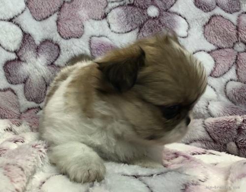 ペキニーズの子犬(ID:1236211396)の2枚目の写真/更新日:2019-04-22