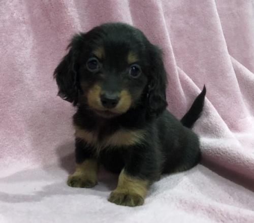 カニンヘンダックスフンド(ロング)の子犬(ID:1236211400)の1枚目の写真/更新日:2019-01-15