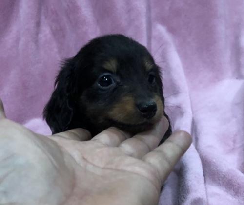カニンヘンダックスフンド(ロング)の子犬(ID:1236211400)の3枚目の写真/更新日:2019-01-15