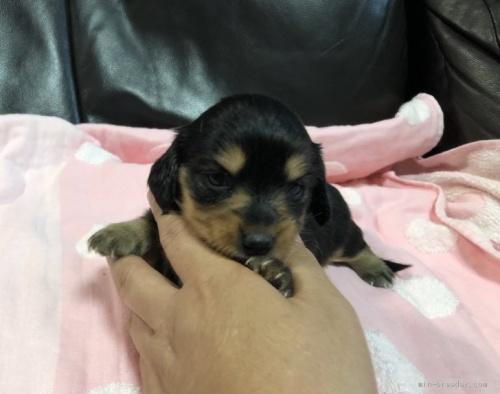 カニンヘンダックスフンド(ロング)の子犬(ID:1236211402)の1枚目の写真/更新日:2020-04-18