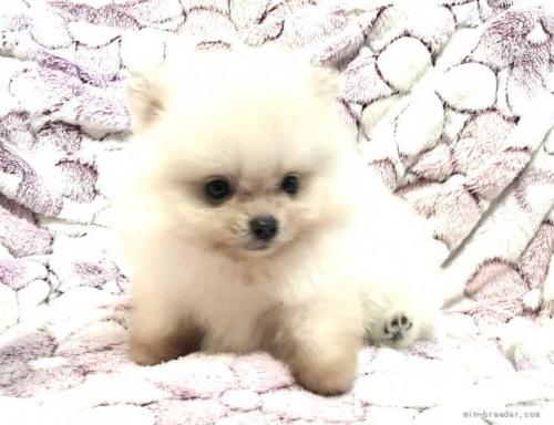 ポメラニアンの子犬(ID:1236211404)の1枚目の写真/更新日:2017-01-16