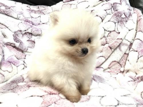 ポメラニアンの子犬(ID:1236211404)の2枚目の写真/更新日:2017-01-16