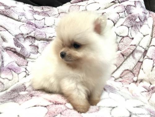 ポメラニアンの子犬(ID:1236211404)の3枚目の写真/更新日:2017-01-16