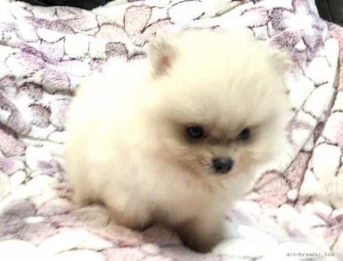 ポメラニアンの子犬(ID:1236211404)の4枚目の写真/更新日:2021-08-04