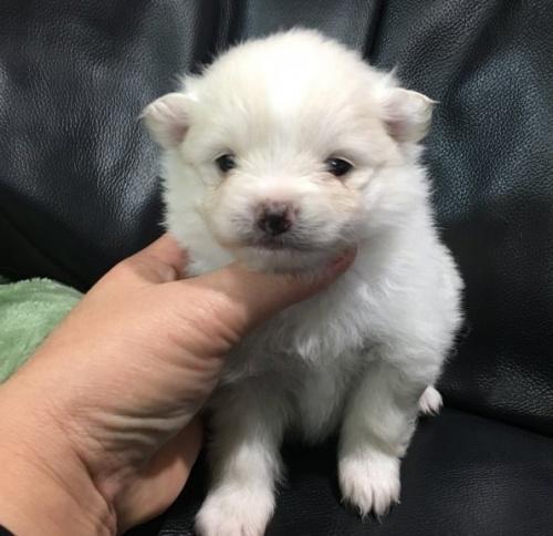 ポメラニアンの子犬(ID:1236211405)の1枚目の写真/更新日:2017-01-16