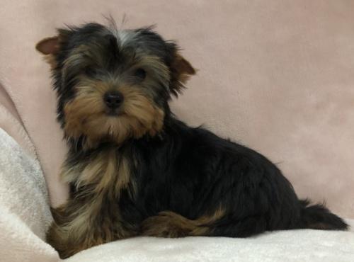 ヨークシャーテリアの子犬(ID:1236211406)の1枚目の写真/更新日:2019-05-22