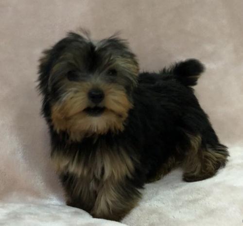 ヨークシャーテリアの子犬(ID:1236211406)の2枚目の写真/更新日:2019-05-22
