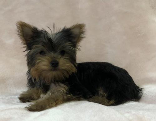 ミディアムプードルの子犬(ID:1236211407)の1枚目の写真/更新日:2018-02-27