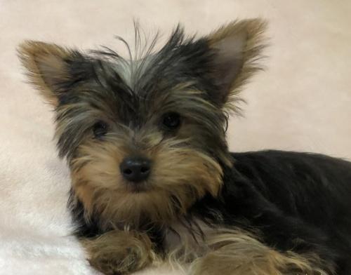ヨークシャーテリアの子犬(ID:1236211407)の2枚目の写真/更新日:2019-05-22