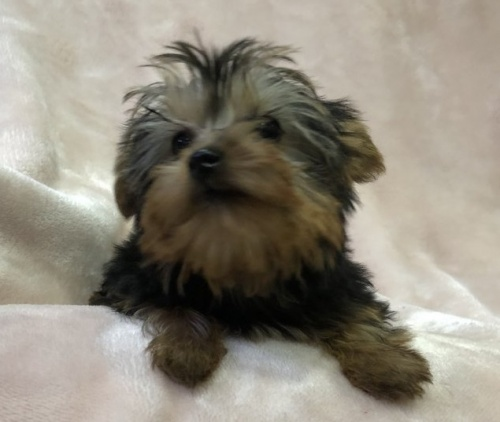 ヨークシャーテリアの子犬(ID:1236211408)の1枚目の写真/更新日:2019-05-22