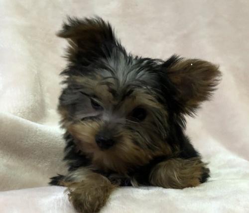 ヨークシャーテリアの子犬(ID:1236211408)の2枚目の写真/更新日:2019-05-22
