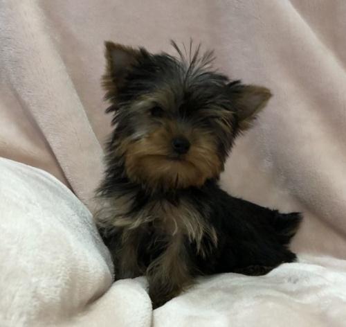ヨークシャーテリアの子犬(ID:1236211409)の1枚目の写真/更新日:2019-05-22