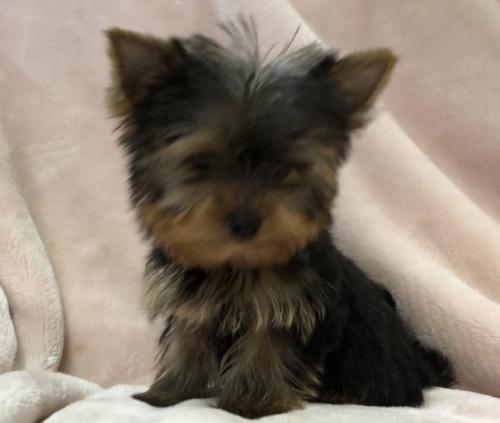 ヨークシャーテリアの子犬(ID:1236211409)の2枚目の写真/更新日:2019-05-22