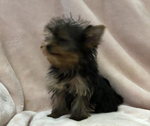 ヨークシャーテリアの子犬(ID:1236211409)の3枚目の写真/更新日:2019-05-22