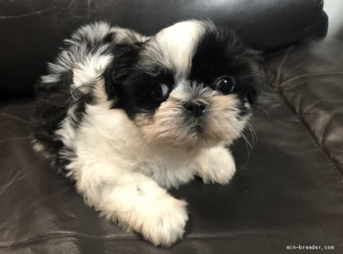 シーズーの子犬(ID:1236211414)の1枚目の写真/更新日:2018-02-27