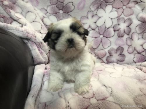 シーズーの子犬(ID:1236211415)の1枚目の写真/更新日:2018-02-27