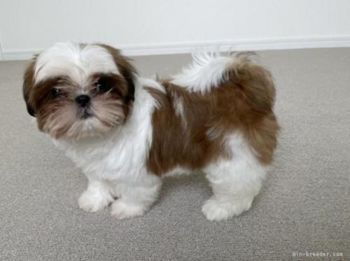 シーズーの子犬(ID:1236211417)の2枚目の写真/更新日:2020-09-23