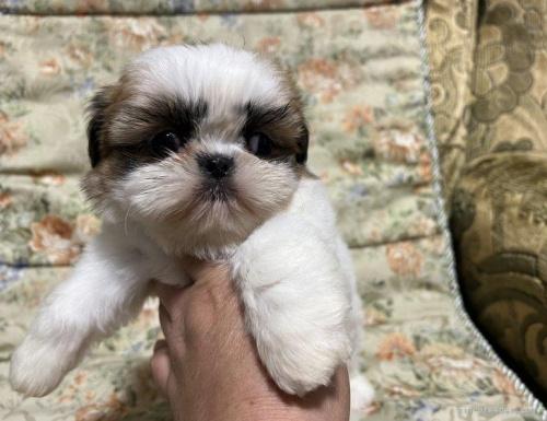 シーズーの子犬(ID:1236211418)の2枚目の写真/更新日:2020-09-23