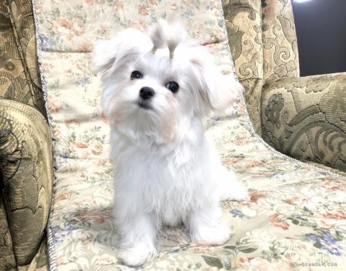 マルチーズの子犬(ID:1236211422)の1枚目の写真/更新日:2020-04-18