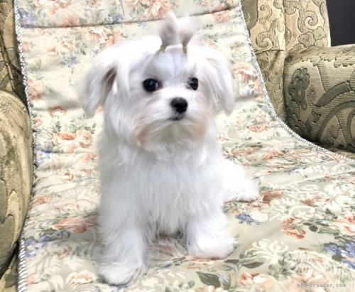 マルチーズの子犬(ID:1236211422)の2枚目の写真/更新日:2020-04-18