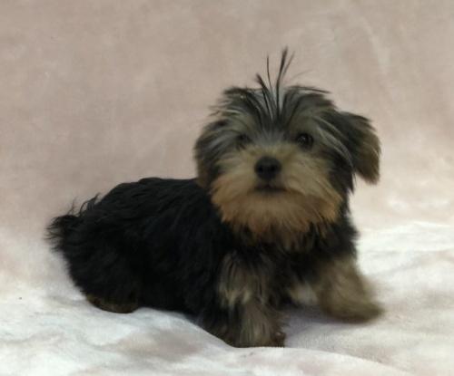 ヨークシャーテリアの子犬(ID:1236211425)の1枚目の写真/更新日:2019-05-22