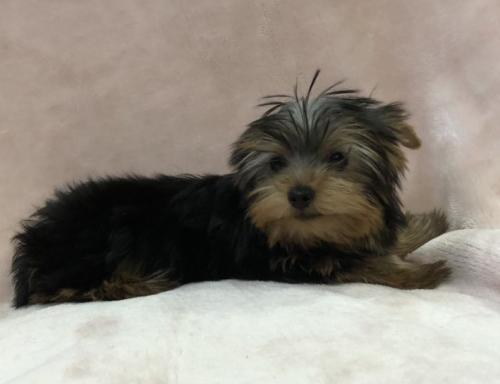 ヨークシャーテリアの子犬(ID:1236211425)の2枚目の写真/更新日:2019-05-22