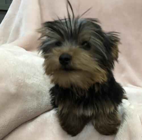 ヨークシャーテリアの子犬(ID:1236211425)の3枚目の写真/更新日:2019-05-22