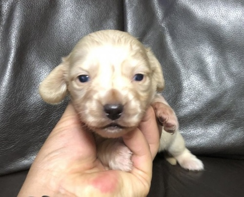 ミニチュアダックスフンド(ロング)の子犬(ID:1236211426)の2枚目の写真/更新日:2019-05-22