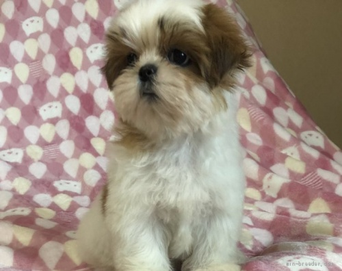 シーズーの子犬(ID:1236211427)の2枚目の写真/更新日:2020-04-18