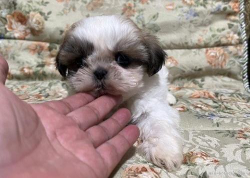 シーズーの子犬(ID:1236211427)の3枚目の写真/更新日:2020-04-18