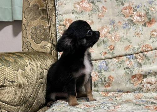チワワ(ロング)の子犬(ID:1236211428)の3枚目の写真/更新日:2020-04-18