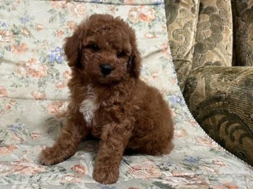 ミニチュアプードルの子犬(ID:1236211429)の2枚目の写真/更新日:2020-04-18