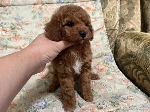 ミニチュアプードルの子犬(ID:1236211429)の3枚目の写真/更新日:2020-04-18