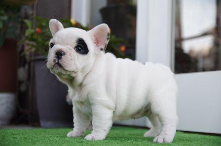フレンチブルドッグの子犬(ID1236411012)の1枚目の写真/