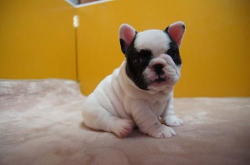 フレンチブルドッグの子犬(ID:1236411063)の3枚目の写真/更新日:2018-02-12